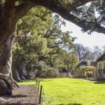 Vergelegen homestead & camphor trees